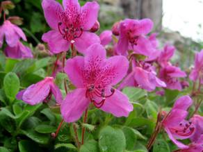エゾツツジ(開花)