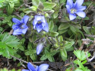 ミヤマリンドウ(開花)