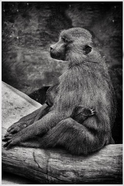 Maman Gibbon