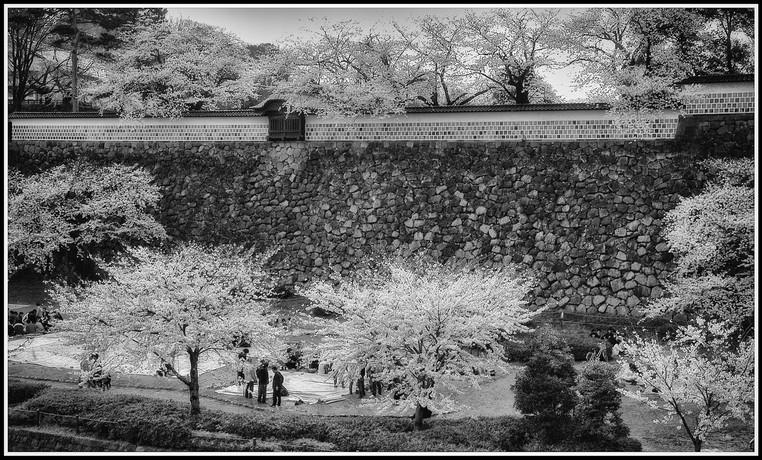 Période des cerisiers en fleurs