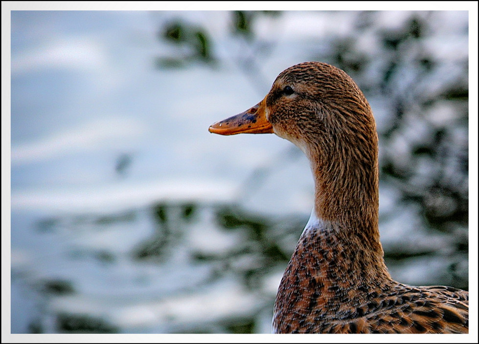 Canard contemplatif et classieux