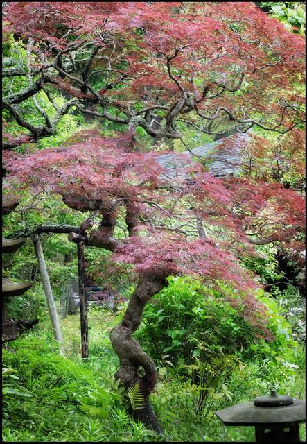 Kamakura pink tree