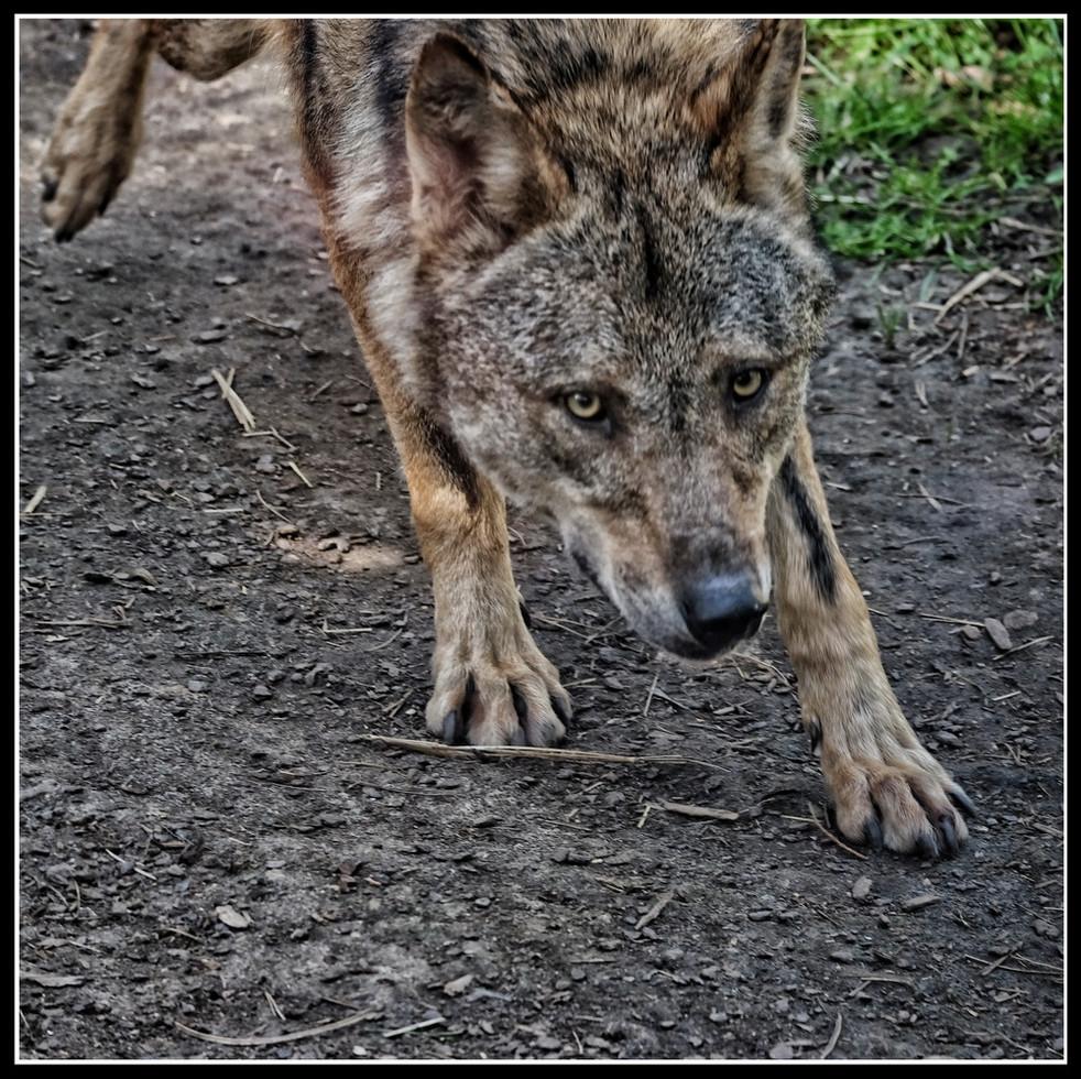 Loup es-tu là ?
