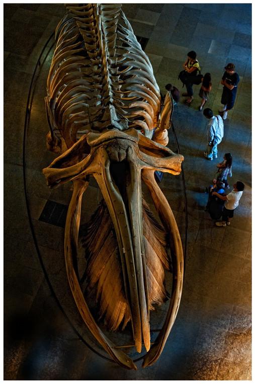 Baleine déssossée