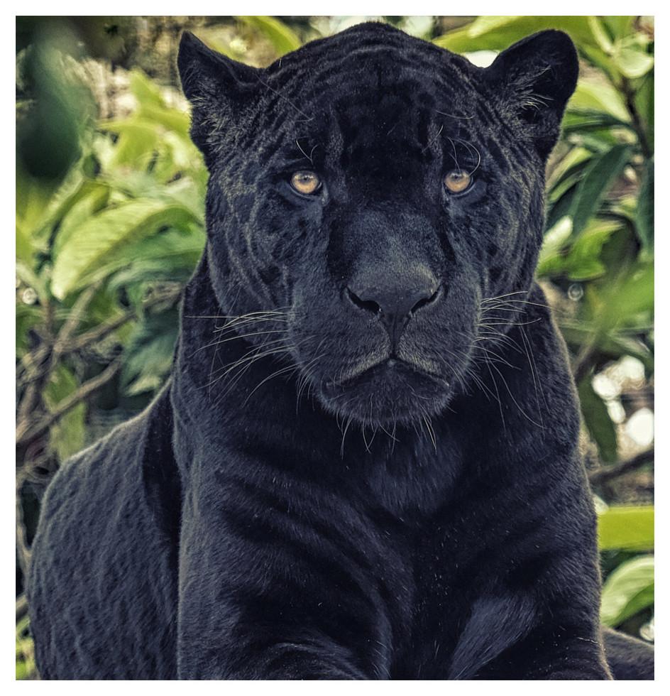Aimable panthère noire