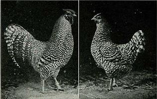 Dominique Chicken Standard.jpg