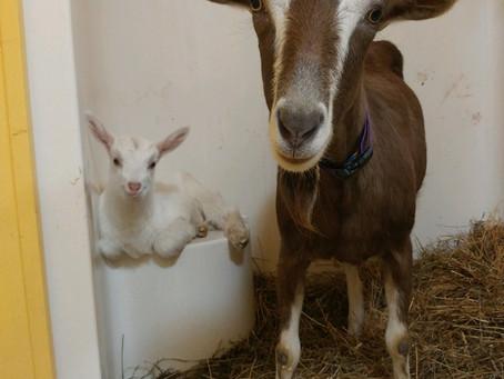 #4 Our First Milk Goats