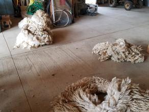 #9 Shearing Day