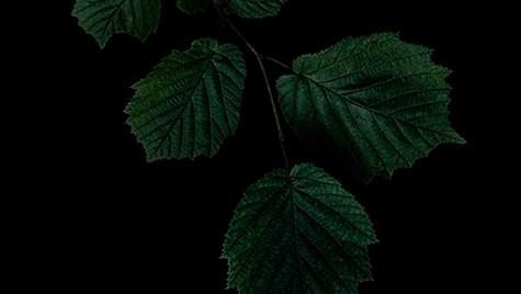 Common hazel / Pähkinäpensas