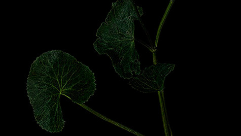 Marsh-marigold / Rentukka