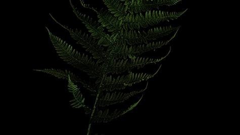 Lady fern / Soreahiirenporras