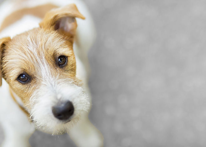 Brown and white Jack Russell Terrier puppy sitting on a road and looking up at the camera