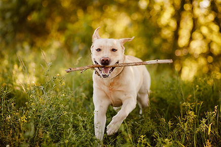 A labrador running excitedly in a forest while fetching a stick towards the camera