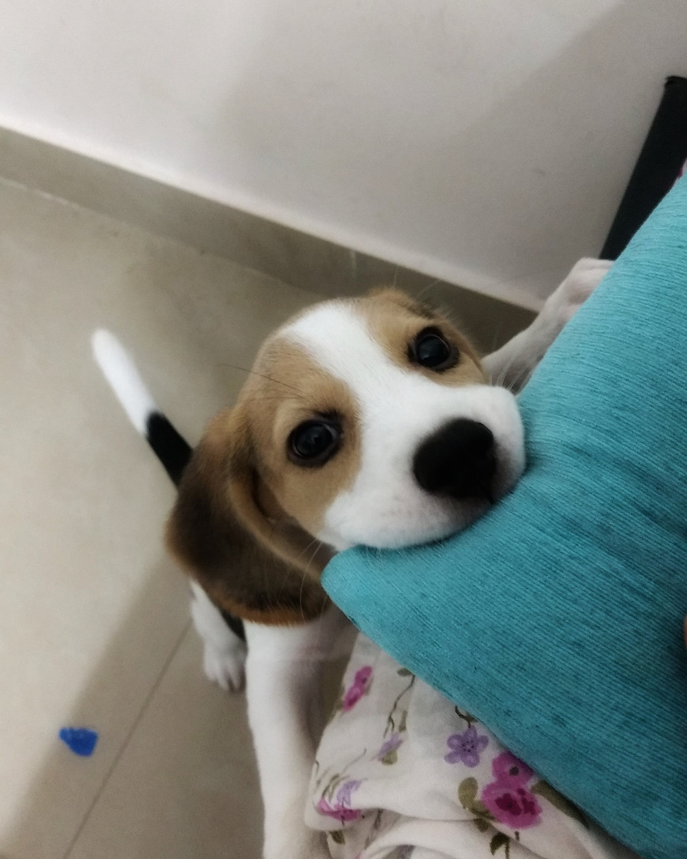 Trying To Train Your Beagle Puppy