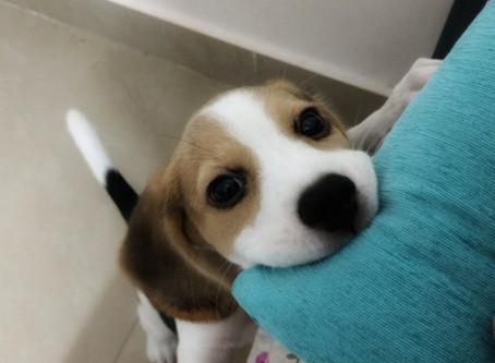 Trying to train your beagle puppy?