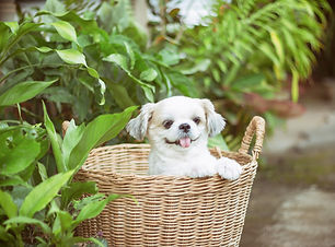 A furry white puppy smiling in a wicker basket in a garden
