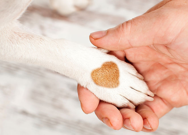 A white dog's paw with a brown heart shaped patch on the paw gently held by a human