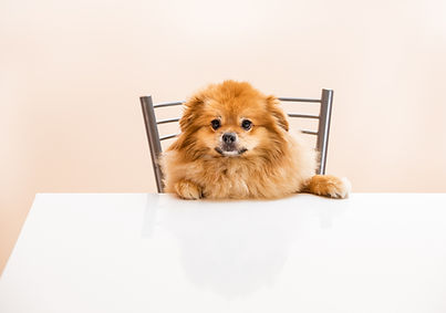 A brown dog sitting at a white dining table on a metallic chair