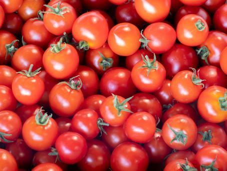 トマト定植作業お手伝い募集