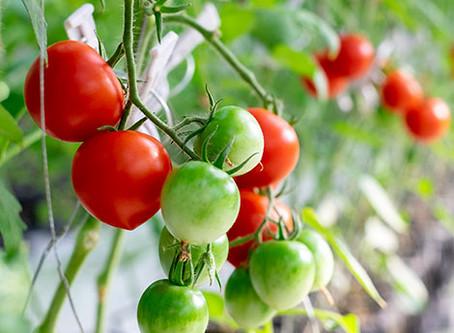 トマト倒し作業お手伝い募集