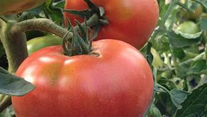 【農業体験】ハウス&露地トマトの樹 撤去作業