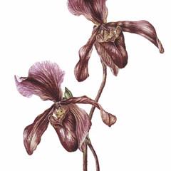 Paphiopedilum (Slipper Orchid)