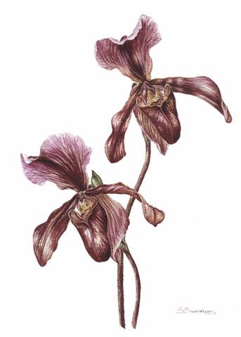 Paphiopedilium (Slipper Orchid)