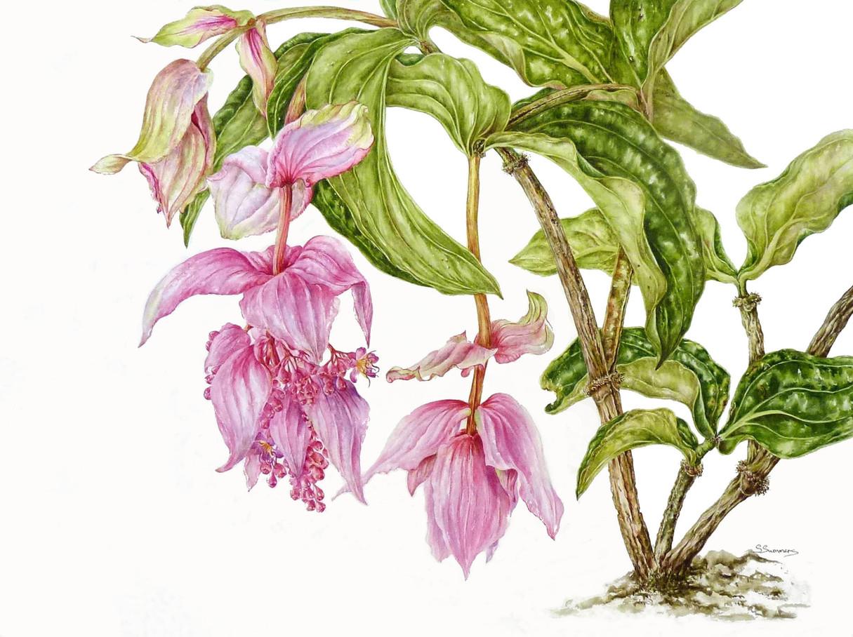 Medinilla Magnifica (Philippine Orchid)
