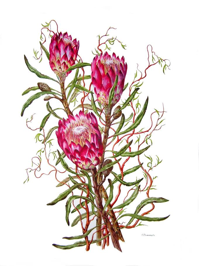 Red Protea & Tortuosa