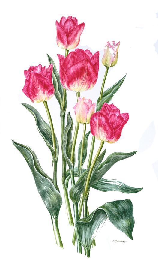 Blenda Tulips