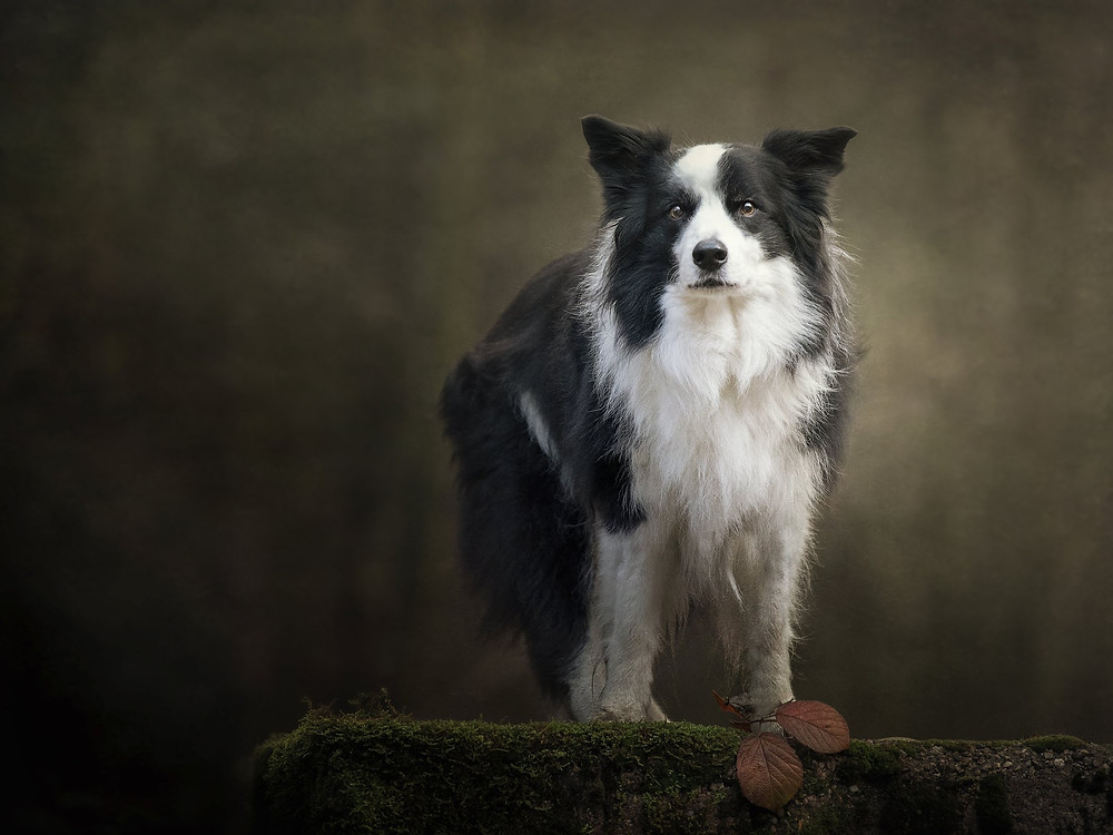 Border collie, black and white dog in forest