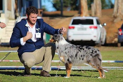 Liashasue La lana Blue merle australian shepherd