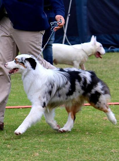 Australian Shepherd show dog