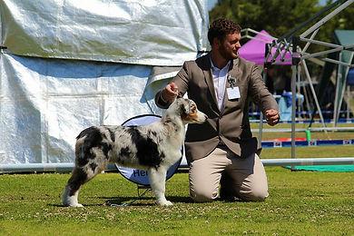 Blue Merle Australian Shepherd Aragon
