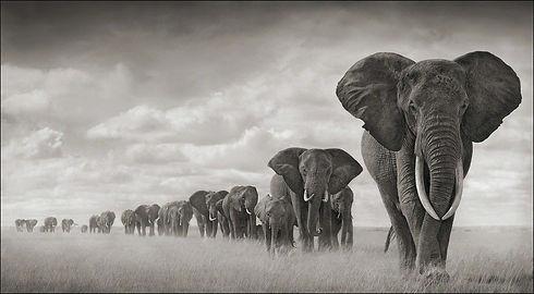 Elephant assembly line trekking through the Serengeti.