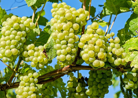 Grapes-Fruits-Plants-Close-Up.jpg