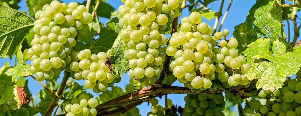 Grapes-Fruits-Plants-Close-Up.jpg
