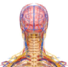 Your nervous system is the master control system of your body.  Here you can see the complex network of nerves that leave your neck enabling you interact with the world moving and sensing with your arms.  Your spine protects your spinal cord, and provides anchoring points for the cord.  Changes in the shape, position, and tension of your spine have a direct relationship with your neurology and reflect the tension in your life experience.  At Dixon Chiropractic and Wellness Center, we help you create unique strategies to optimize the health of your spine and nervous system using a gentle and unique form of chiropractic care.