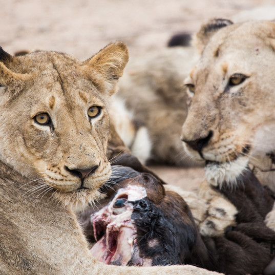 lion pride feeding in South Africa