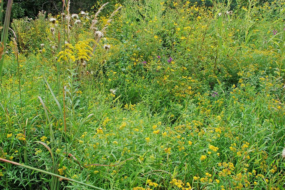 Meadow in restoration