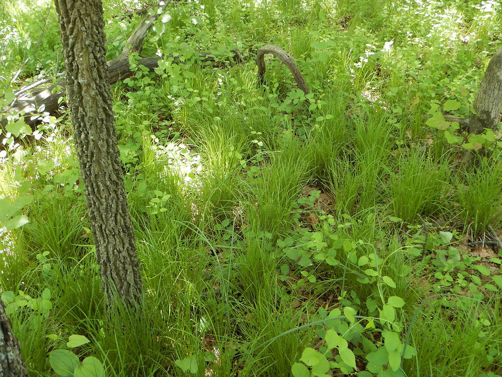 Carex jamesii on the floodplain slope. See the Common Hackberry trunk?