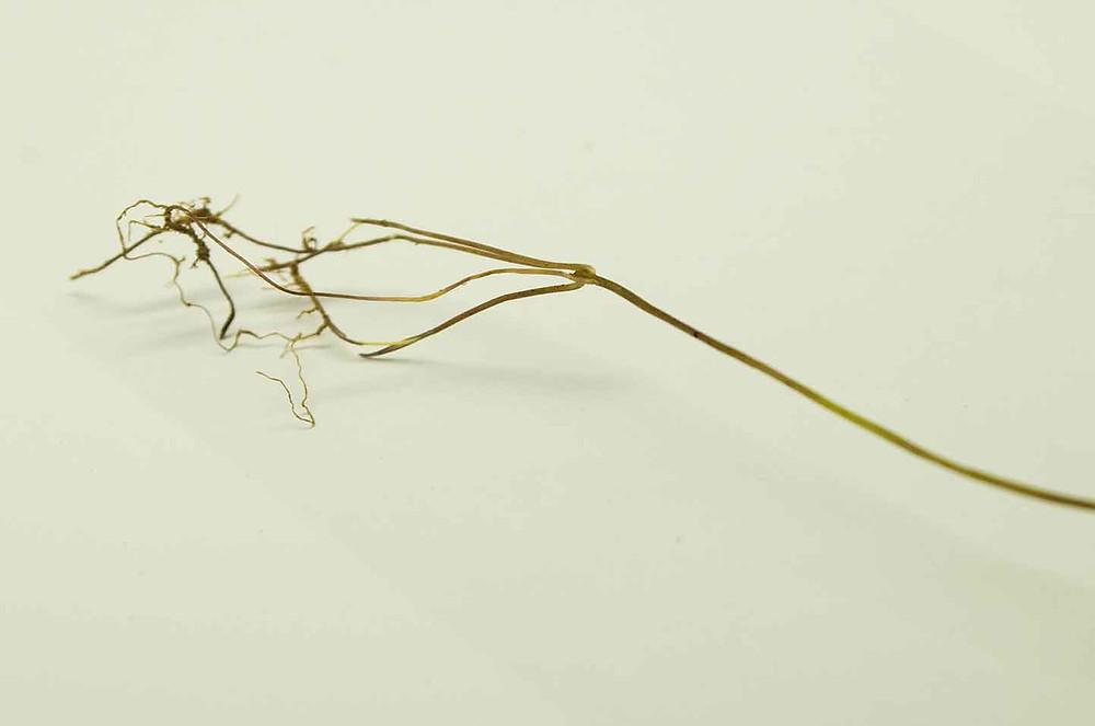 Microstegium vimineum roots