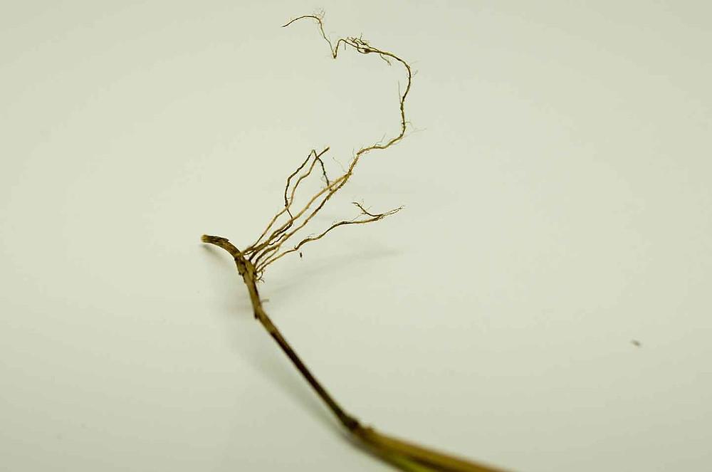 Leersia virginica roots