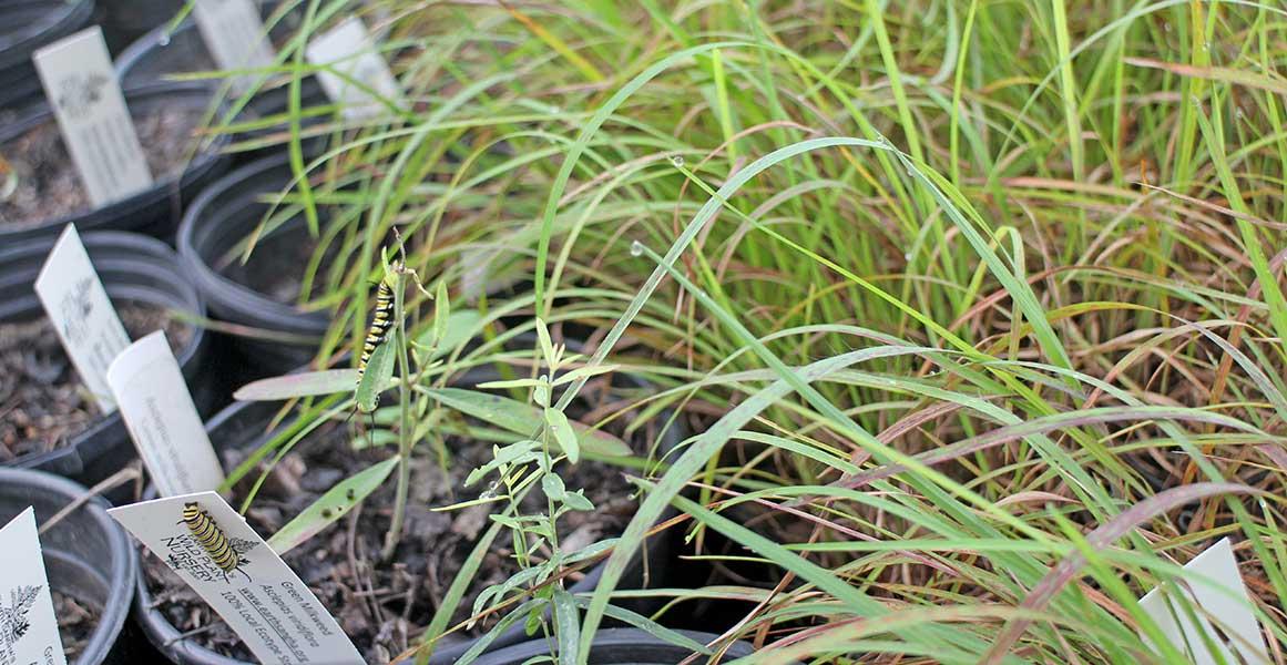Monarch caterpillars on milkweed.