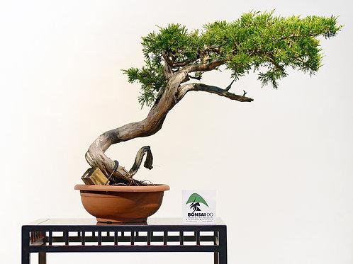 juniperus sabina rastrera(venduto)