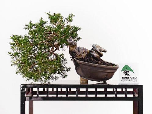 juniperus taiwan