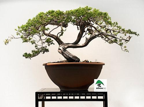 juniperus sabina rastrera
