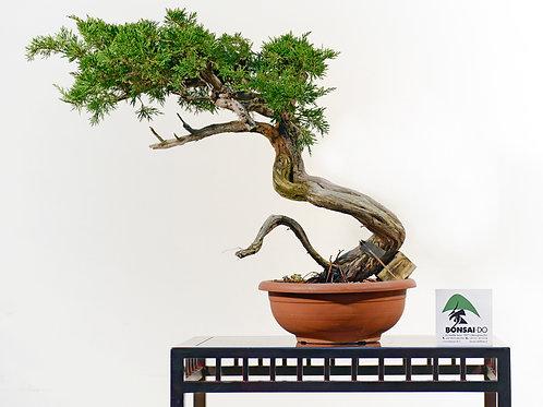 juniperus sabinarastrera