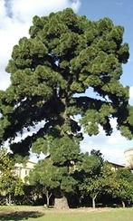 l'albero più bello d'Italia: il Pino delle Canarie di Villa Ravaschieri di Roccapiemonte