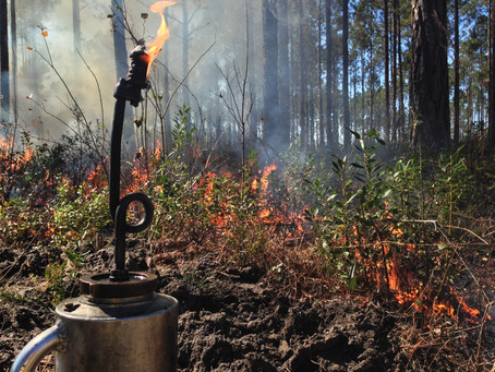 Prescribe Fire: The Vaccine of Pine Forests